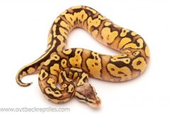 Pastel Fire ball python for sale