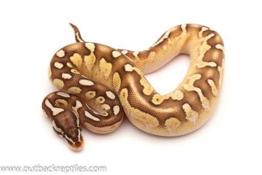 Sable ball python for sale