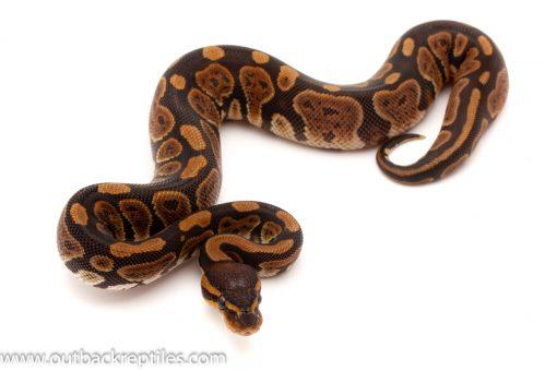 dinker ball pythons for sale