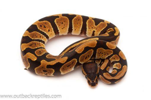 Baby Ball Pythons for sale