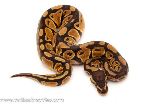 Pastel ball python for sale