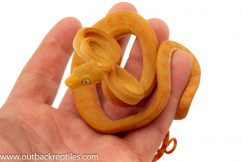 Amazon Tree Boas for sale