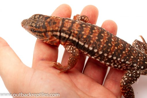 Argentine Tegus for sale