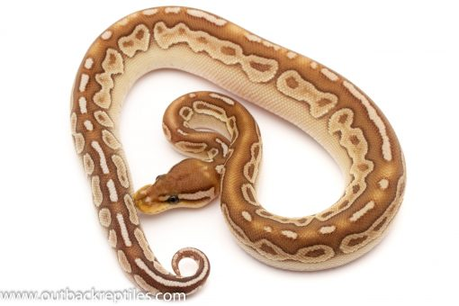 Red Axanthic Ball Pythons for sale