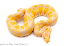 Candino Ball Pythons for sale