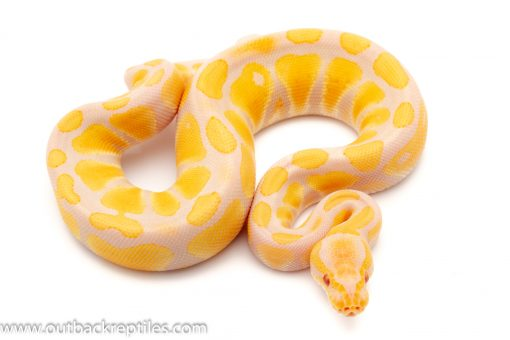 Candino Ball Pythons for sale