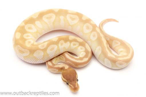Crystal Ball Python for sale