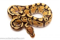 fire ball pythons for sale