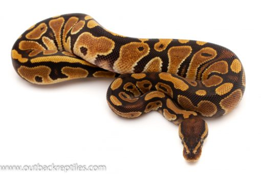 Pied ball pythons for sale