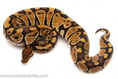 Baby ball pythons for sale