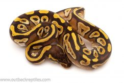 Mojave Ball Pythons for sale