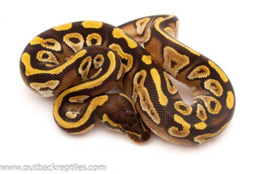 Mojave Ball Pythons for sale