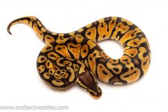 Pastel Ball Pythons for sale