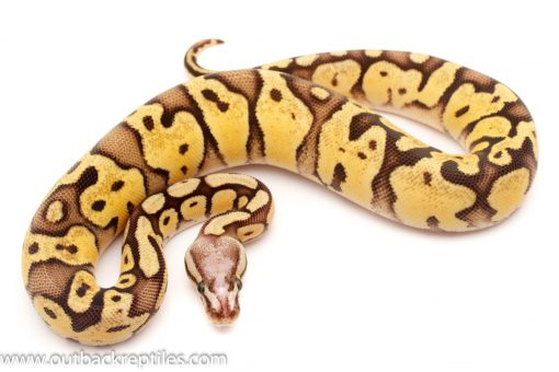 Scalesshead ball pythons for sale