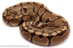 Volta Ball Pythons for sale