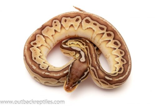 Het Red Axanthic Ball Python for sale