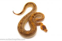 Champagne Ball Pythons for sale