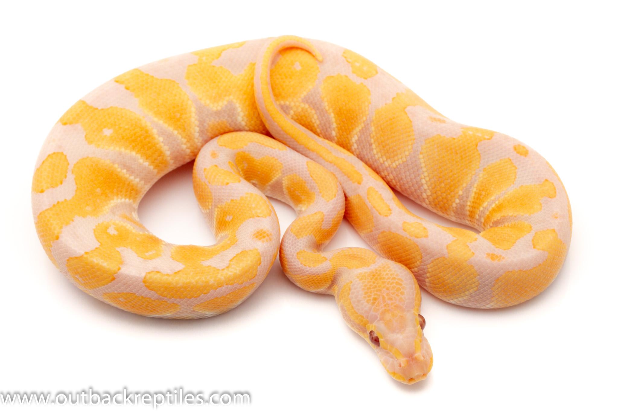 Lavender Albino ball python for sale