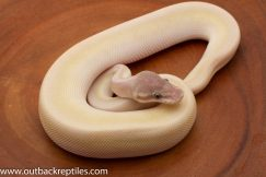blue eyed lucy ball pythons for sale