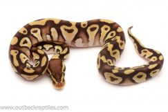 Pastave Ball Pythons for sale