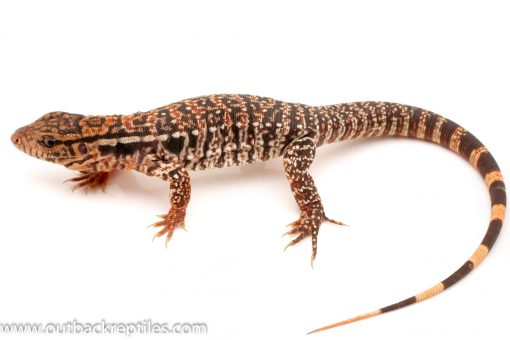 Tegu for sale