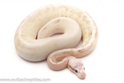 Scaleless Head Ball Pythons for sale