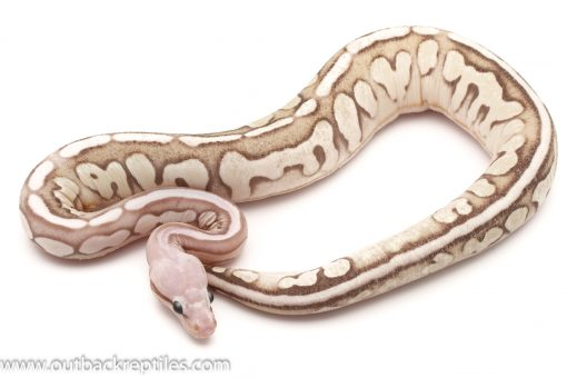 Scaleless Ball Python for sale