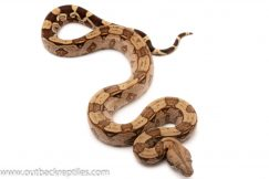 Suriname Boa for sale