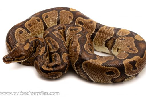 Volta Ball Python for sale