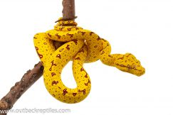 Biak Green Tree Pythons for sale
