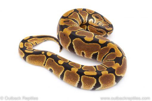 Africa Import Dinker Ball Python for sale